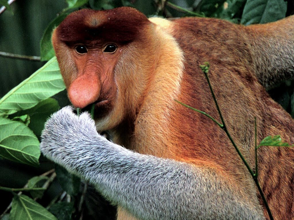 Funny Proboscis Monkey Photos | Funny Animals
