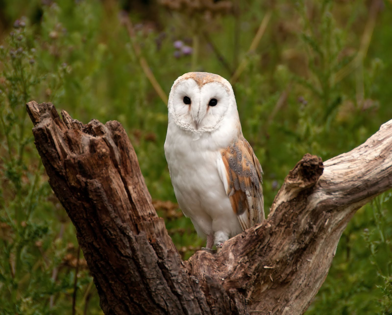 Anthony Miners Wildlife Photos: Barn Owl