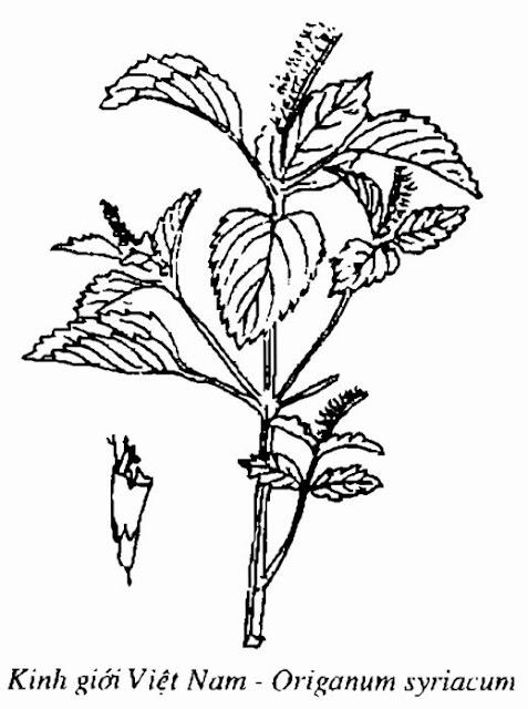 Hình vẽ Kinh Giới Việt Nam - Origanum syriacum - Nguyên liệu làm thuốc Chữa Cảm Sốt
