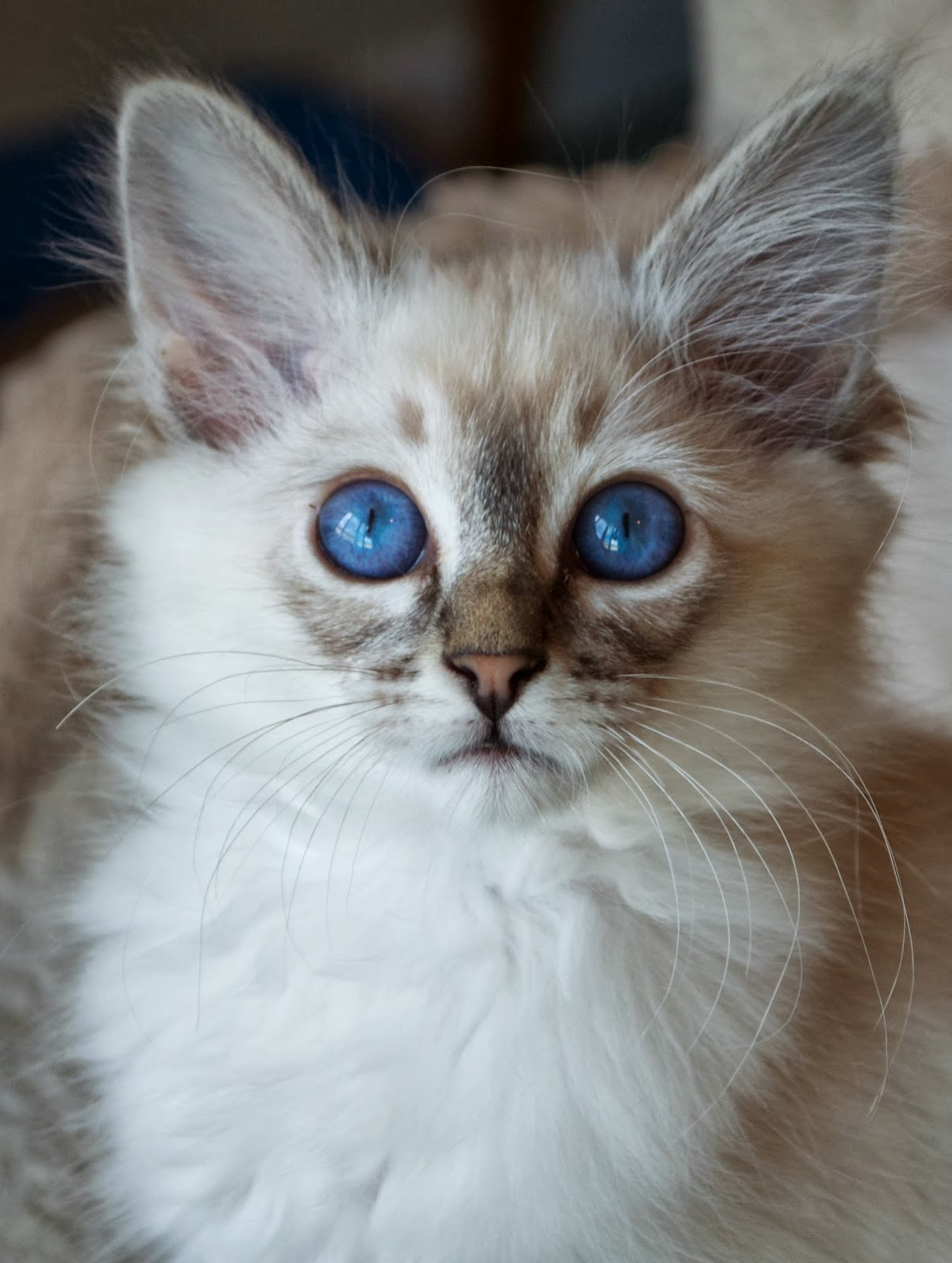 Sold Seal Lynx Point Balinese Male Kitten | Baliwest