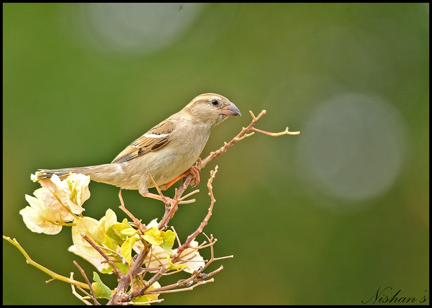House Sparrow - female