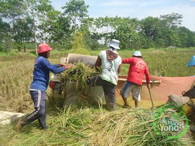 FOTO 4 :    Pemanenan Padi TRISAKTI  di Sawah Tegalsungsang, Des, Bendungan,   Kec. Pagaden Barat. Subang, Jabar.