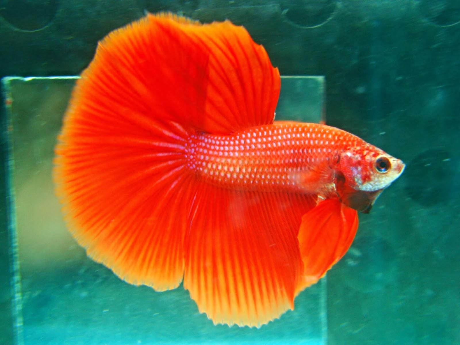 Mewarnai Gambar Ikan Cupang Hias Dan Laga Murid 17 Viewinviteco