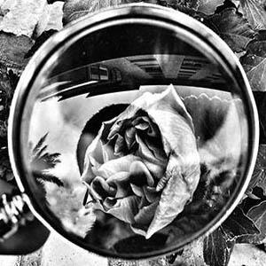 foto de una rosa vista por una lupa