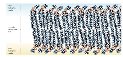 fosfolipid bilayer