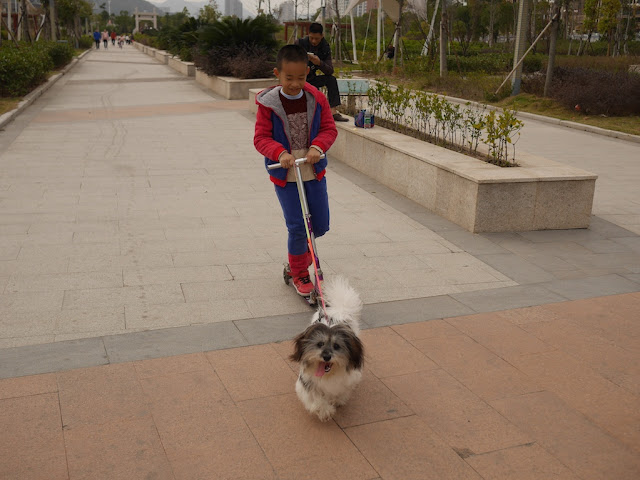 small dog pulls a boy riding a scooter