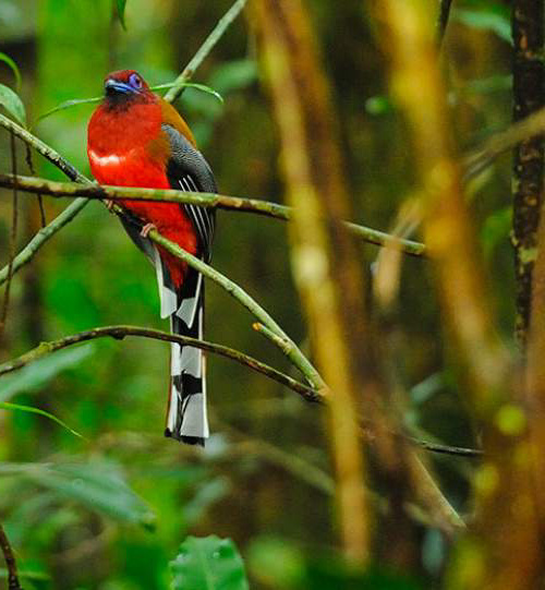 Birds of India -Red-headed trogon - Harpactes erythrocephalus