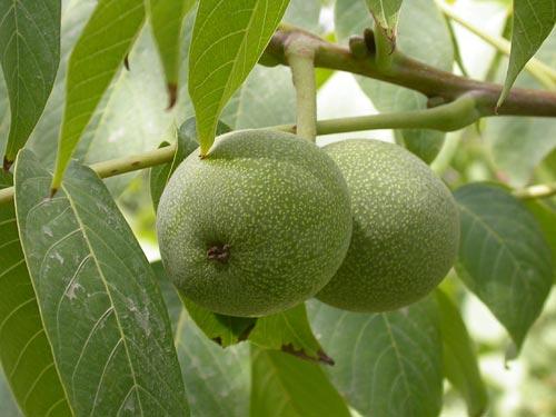 how to grow the walnut tree the garden of eaden. Black Bedroom Furniture Sets. Home Design Ideas