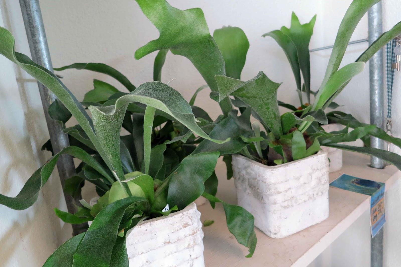 quadriga flora blumen geplauder hirschgeweih oder platycerium grande pflanze f r einen ort. Black Bedroom Furniture Sets. Home Design Ideas