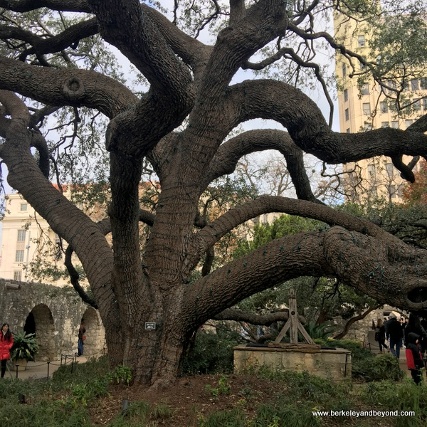 very old live oak tree and original well in the garden at The Alamo in San Antonio, Texas