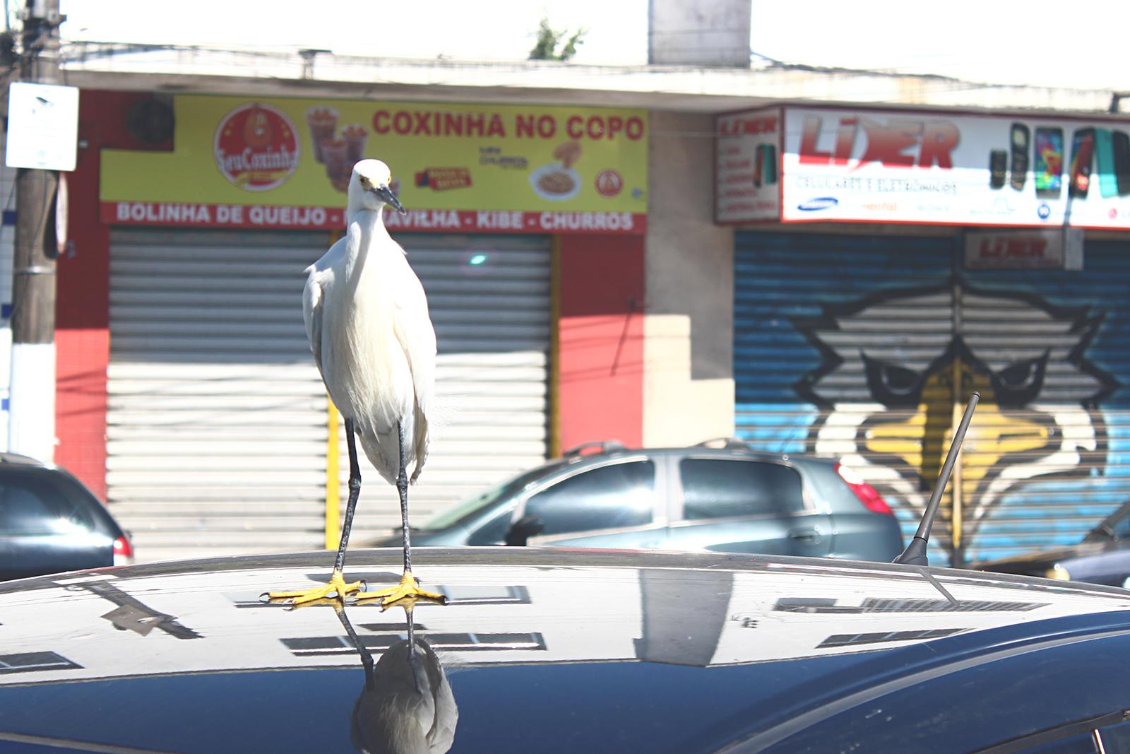 pássaro em cima carro