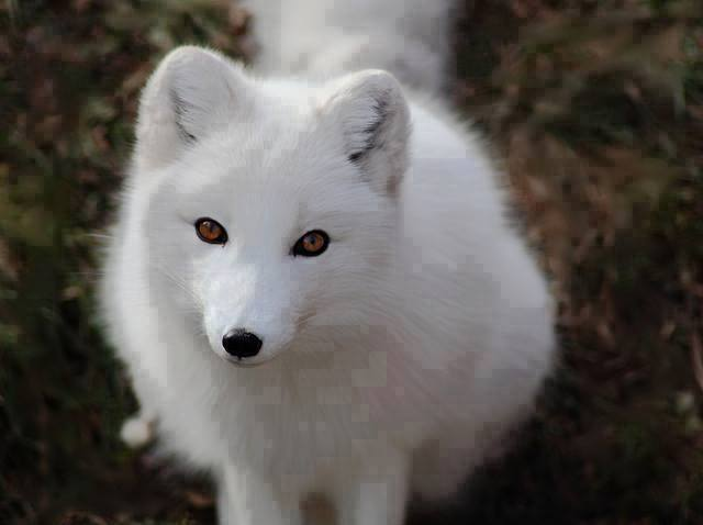 Animals, Beautiful White foxes
