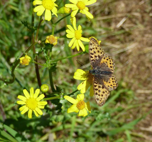 Fluturi din Muntii Macinului - Issoria lathonia