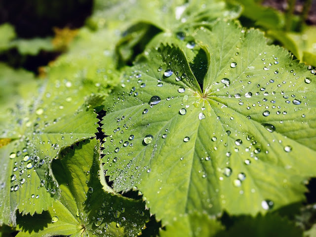 Leaves with dew at the Royal Botanic Garden Edinburgh