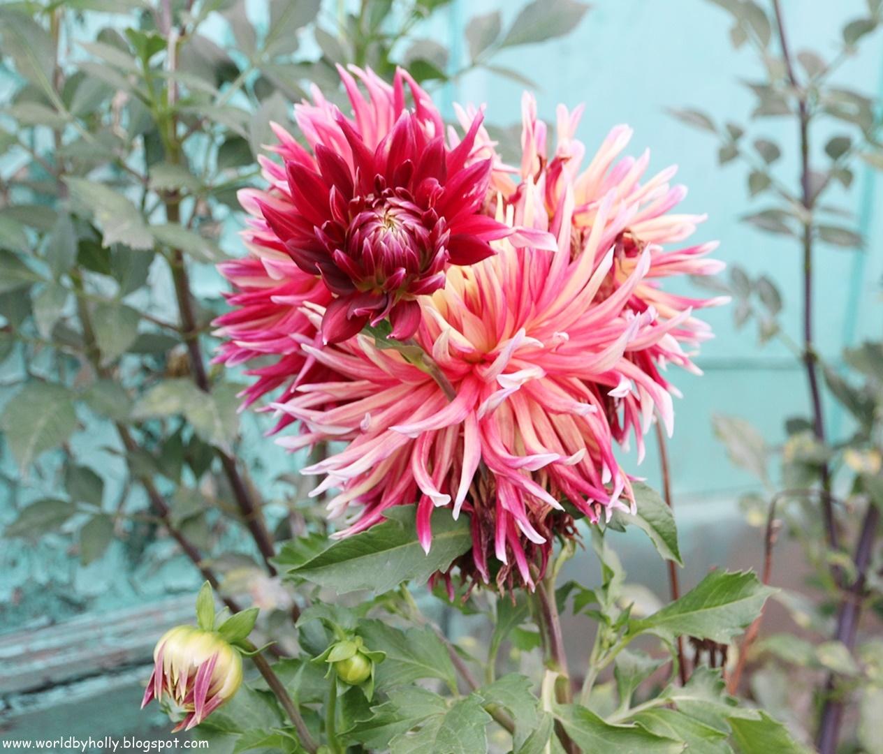kwiaty ogrodowe, dalie, ogród vintage, shabby chic