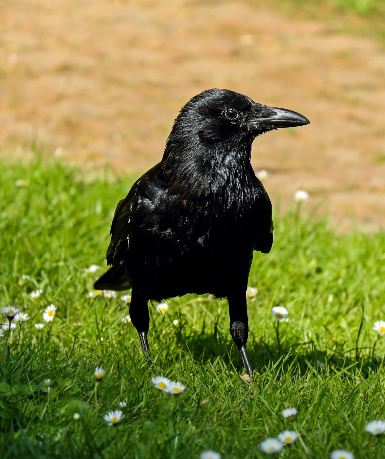 Picture of a rook bird.