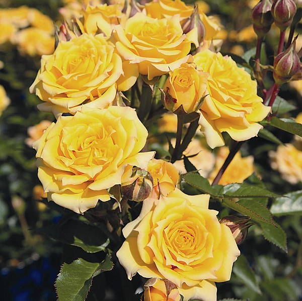 Inka rose