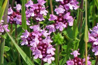 Sovarful Planta Medicinal