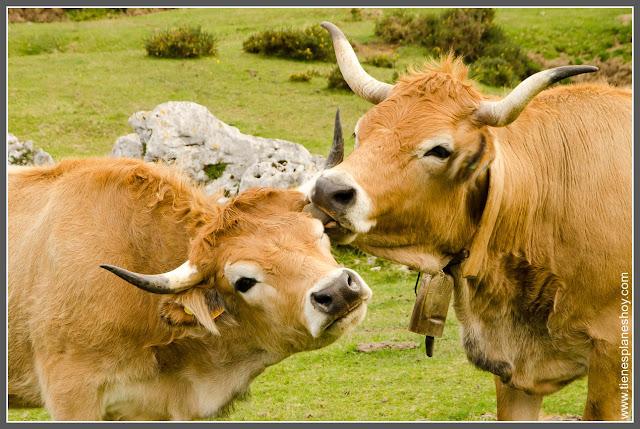 Vacas Lago de Covadonga (Asturias)