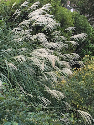 Japanese pampus grass or susuki reaching out over a small stream