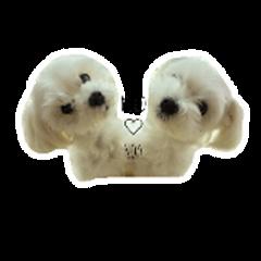 Moco&Noa of a Maltese dog