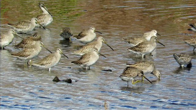 Long-Billed Dowitcher Flock