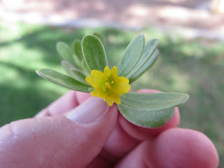 Close-up of the bright yellow flower of common purslane