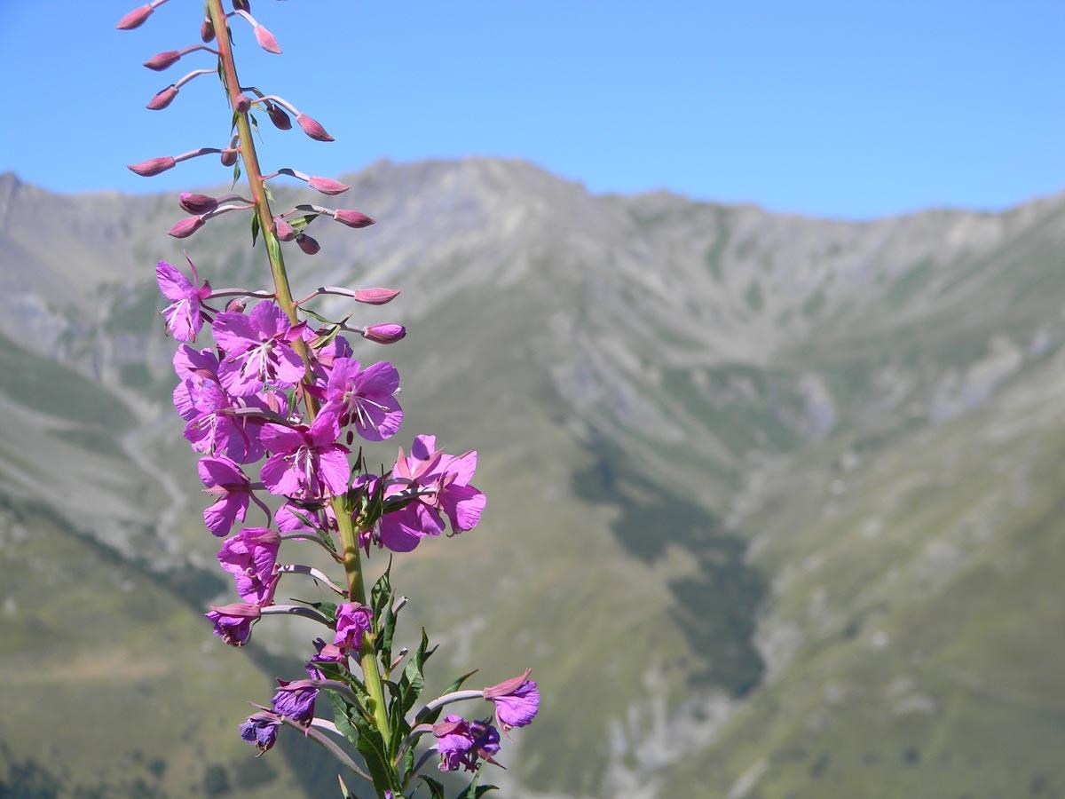 Fleur Valloire été