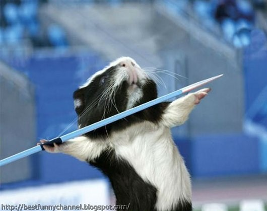Guinea pigs javelin throwing.