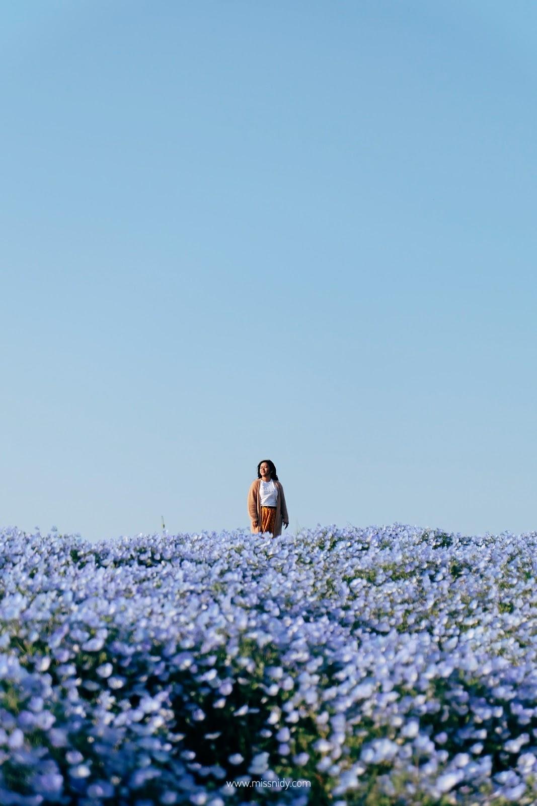 hamparan bunga biru di jepang
