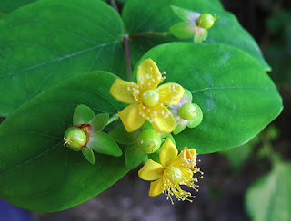 Flores amarillas del hipérico rastrero (Hypericum humifisum)