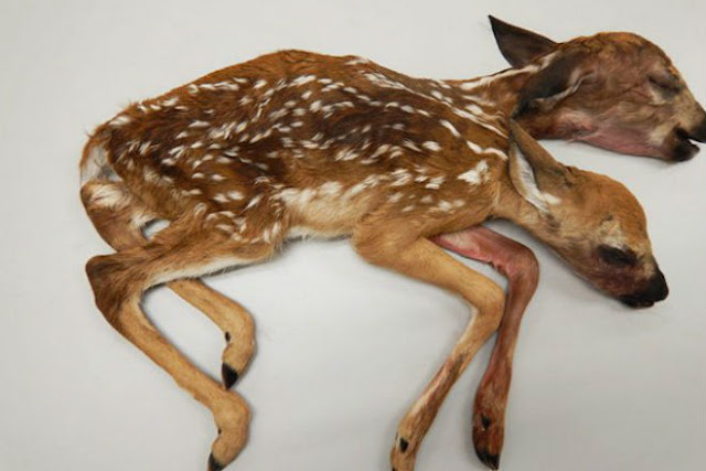 Two-headed deer has puzzled scientists