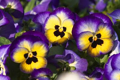 Цветы имени Анна - анютины глазки