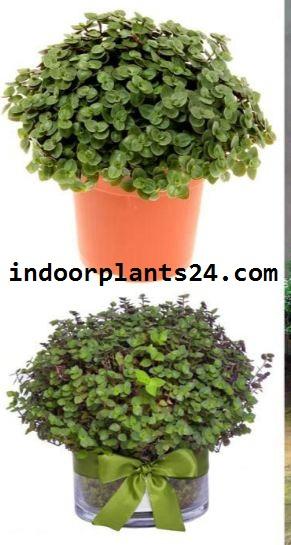 Callisia Repens Commelinaceae CALLISIA plant