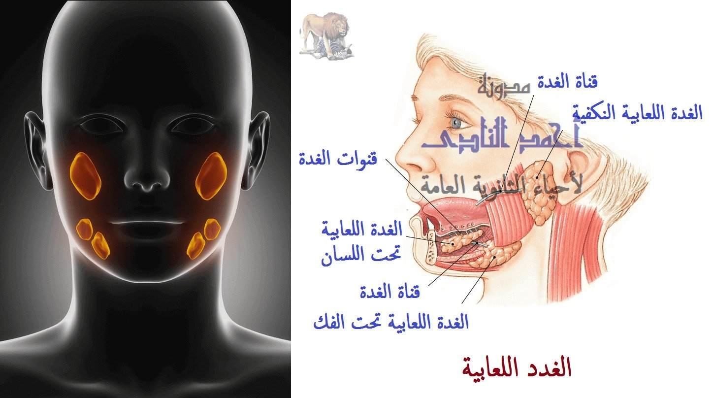 الهضم فى الإنسان -الهضم فى الفم - الغدد اللعابية - النكفية - تحت اللسان - تحت الفك - الأميليز اللعابى - مدونة أحمد النادى - أحياء الثانوية العامة