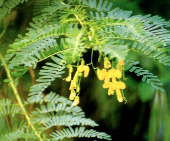 Atasi Penyakit Dengan Tanaman Herbal Jayanti