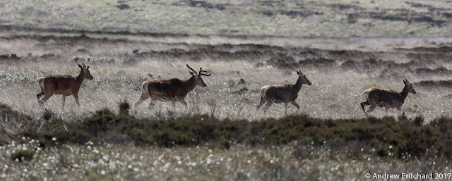 Four stags walking across the moor. One is noticeably larger and has bigger anters.