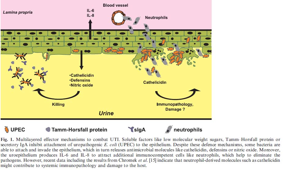 Exploring Microbiology Uti S And Uropathogenic E Coli