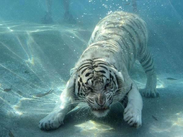 Amazing facts about White Tiger | Getting Knowledge