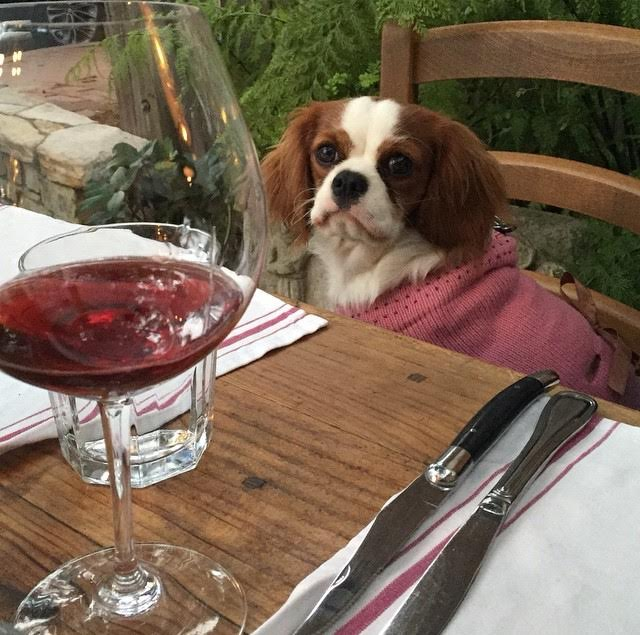 Blenheim Cavalier King Charles Spaniel in sweater at Casanova in Carmel, California