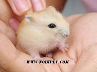 cach-phan-biet-chuot-hamster-winter-white-ww-va-campell-chuyen-nghiep-2