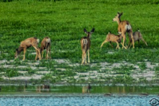 Cramer Imaging's wildlife photograph of suckling fawns and deer on a lake shore at Devil's Creek Reservior, Oneida, Idaho