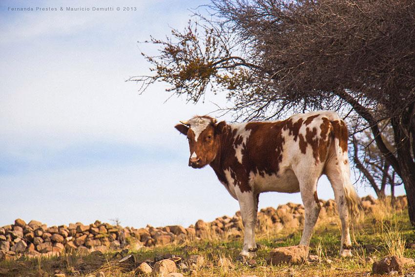 vaca no cerro