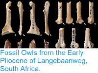https://sciencythoughts.blogspot.com/2014/08/fossil-owls-from-early-pliocene-of.html