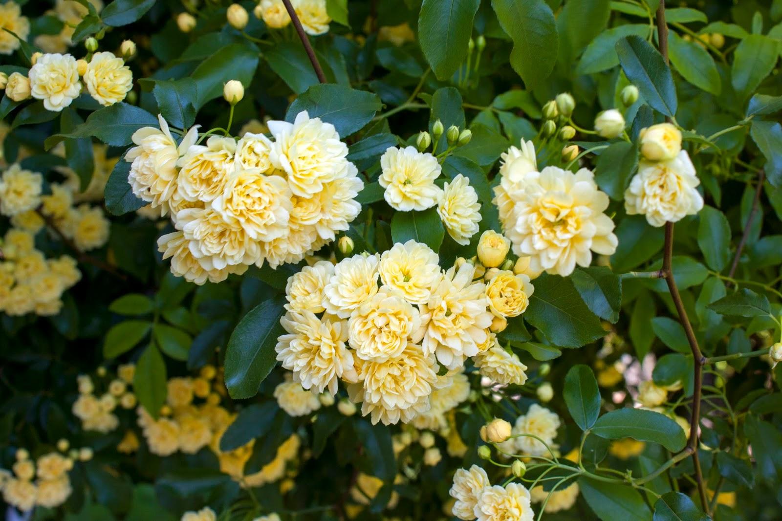 Rose Rampicanti Senza Spine il piccolo giardino di l.: una gigante: la rosa banksiae