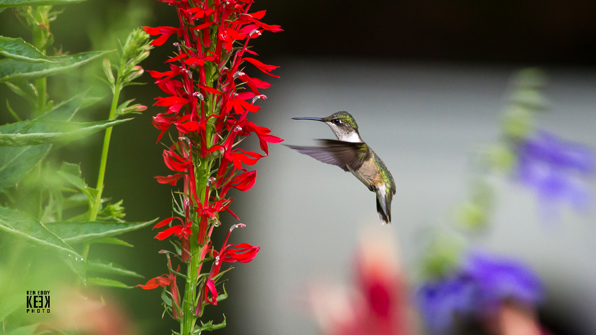 Here S A Recent Photo By Ken Eddy With Hummingbird Roaching 4 Star Favorite Cardinal Flower This Is Long Island Native Perennial That Grows Along