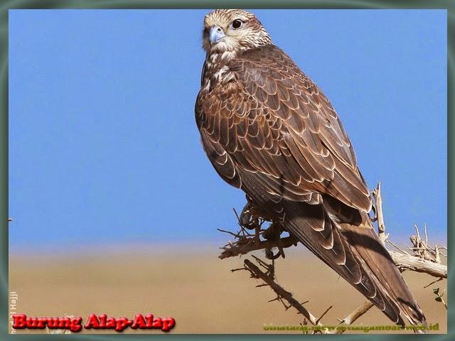 gambar burung alap-alap