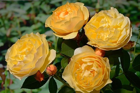 Goldstern roseроза сорт фото