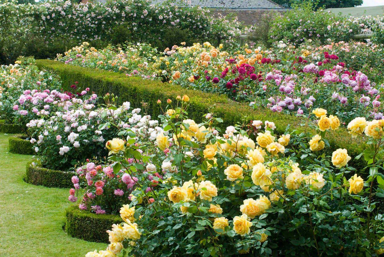 david austin roses new introductions chelsea flower show david austin rose gardens