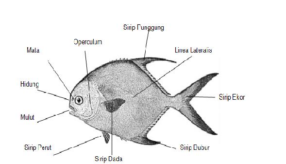 Gambar Ikan Bawal Laut Gambar Ikan Hd
